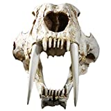 CUHAWUDBA 1: 1 Tama?O Animales Antiguos Americanos Diente de Sable Gato CráNeo de Tigre Sabertooth Smilodon Fatalis Modelo de Muestra Modelo de Esqueleto Animal