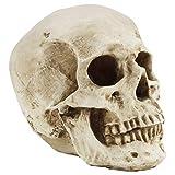 Kurtzy Modelo Calavera Humana 12 x 17 x 14,5 cm - Cráneo Humano Realista Hueso Resina Medico – Replica Tamaño Real Enseñanza Anatomía y Detalles Halloween Fiestas