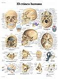 3B Scientific VR3131UU Impreso En Papel, el Cráneo Humano
