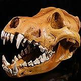 JINGXI Estatua de cráneo de Lobo, cráneo de Coyote Real, Huesos de Animales de taxidermia, Adecuado para Estudio, decoración de Bar