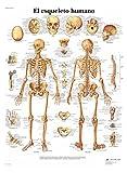 3B Scientific 1001799 VR3113L Póster Anatómico, el Esqueleto Humano