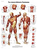 3B Scientific VR3118L Póster anatómico, la Musculatura Humana
